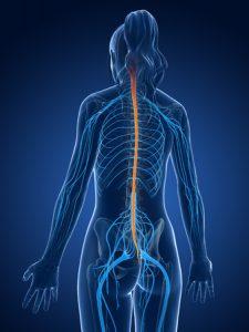 脊髄神経のイラスト