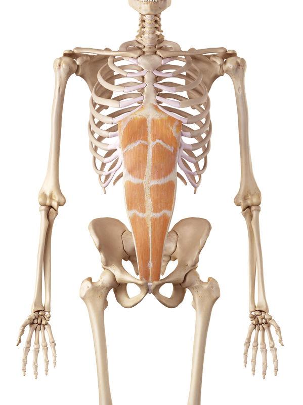 腰痛予防の腹直筋のイラスト
