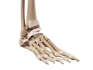 足首の靭帯の骨格模型の写真