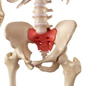 骨盤の模型の写真