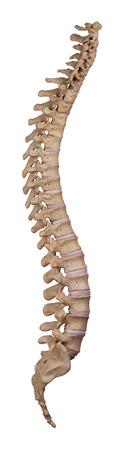 横浜の腰痛治療の整骨院「宮谷小交差点前せいこついん」の背骨の前弯と後弯のイメージ