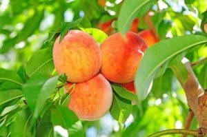 7434983 - peaches