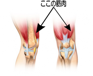 膝の痛み治療の整骨院「宮谷小交差点前せいこついん」の膝の痛みに鍛えると効果的な太ももの筋肉のイメージ